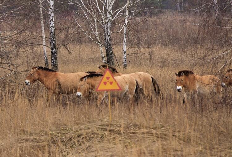 У зоні збільшилася кількість коней Пржевальського