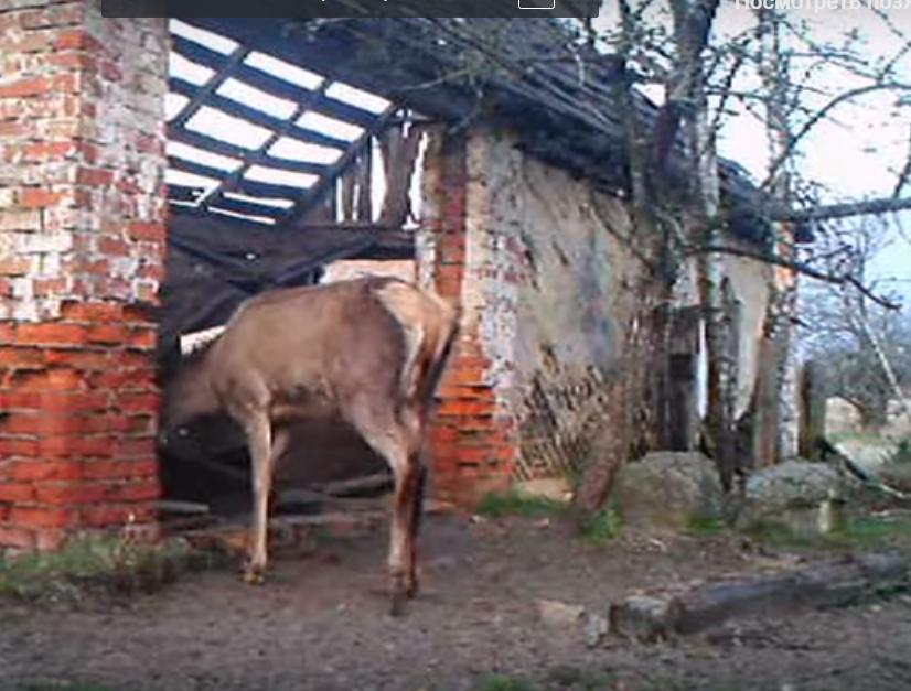 Олені приходять до закинутих хат у пошуках їжі