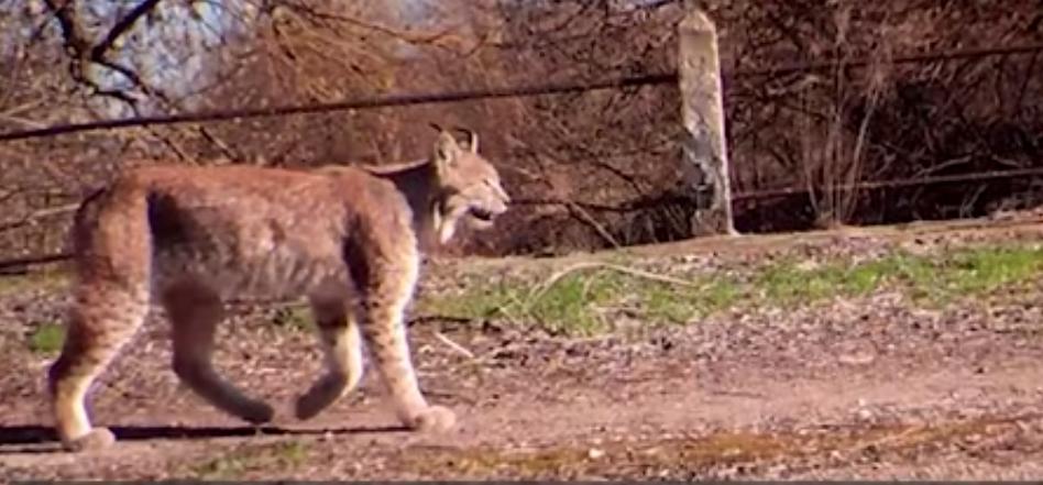 У Чорнобильській зоні бачили навіть рись