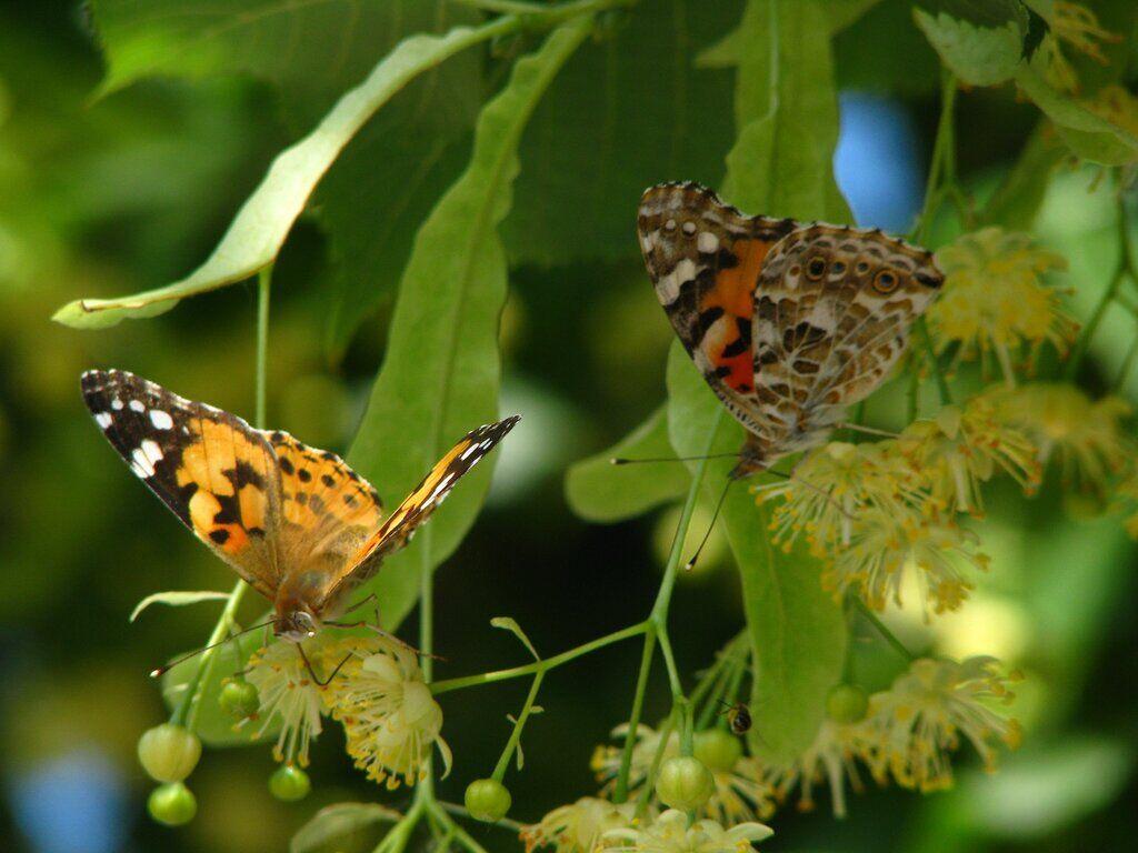 В Киеве заметили нашествие бабочек