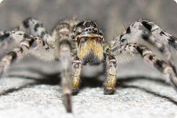 Південноруський тарантул