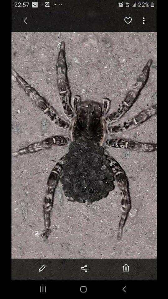 Під Харковом помітили небезпечних отруйних павуків