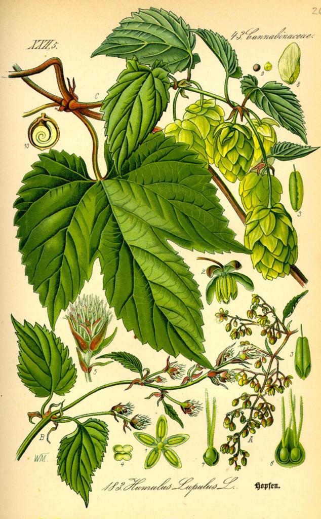 Хміль. Малюнок з ботанічного атласу