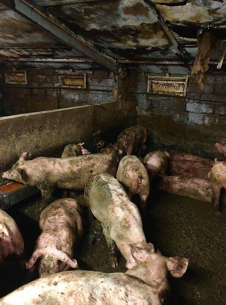 На фермі в Ірландії свині з'їдали один одного живцем