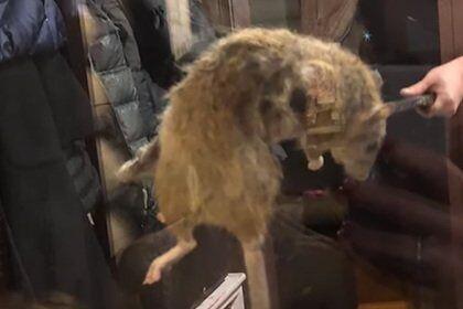 Крыса-гигант