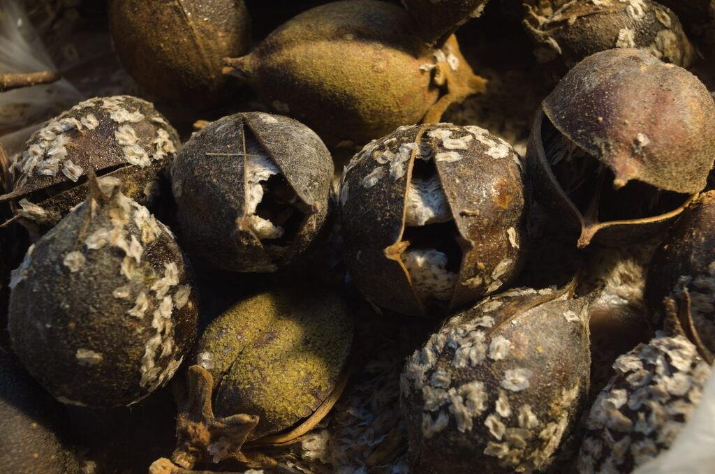 Семена Павловнии