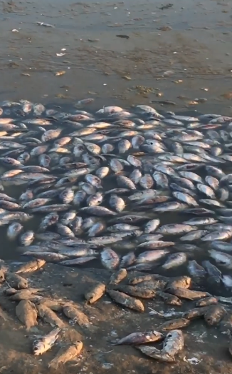 Мор риби в Аршань-Зельменському водосховищі, РФ
