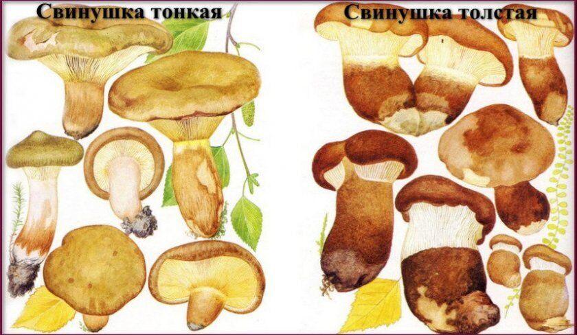Свинушка тонка – отруйний гриб, товста – їстівний