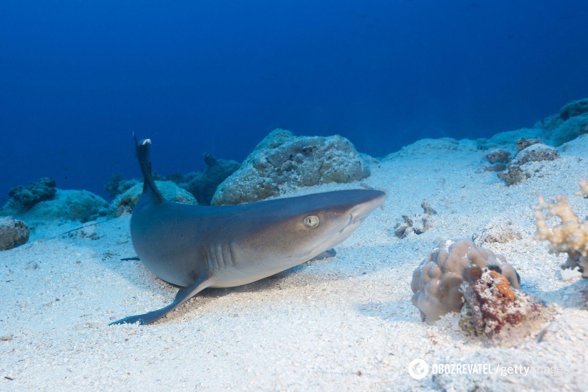 Океаническая длиннокрылая акула