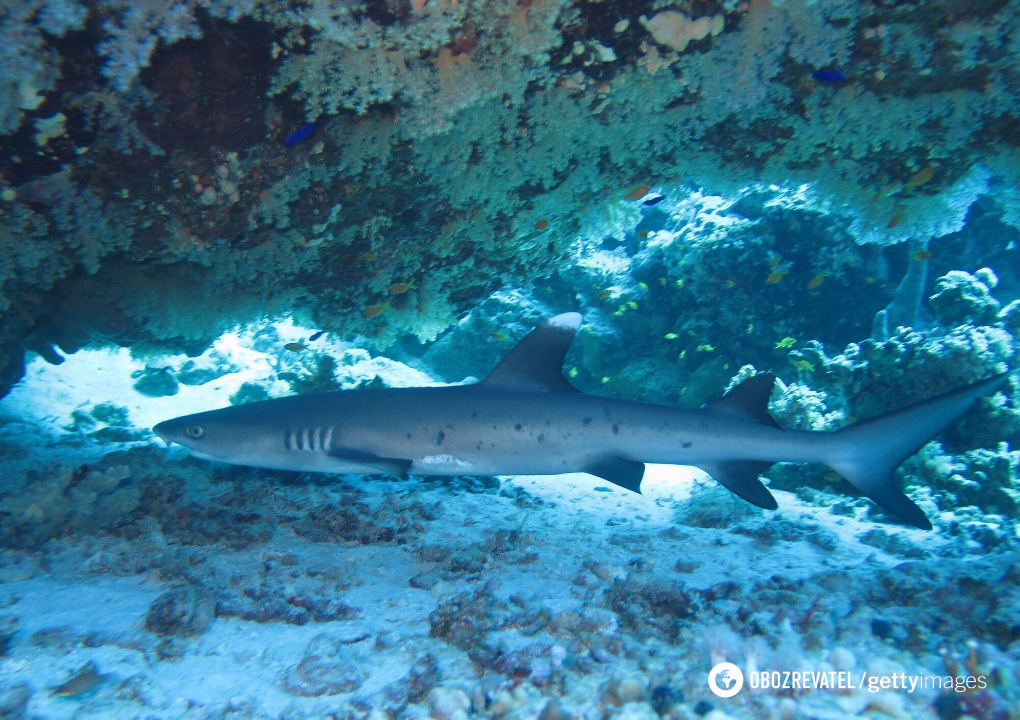 Океанічна довгокрила акула