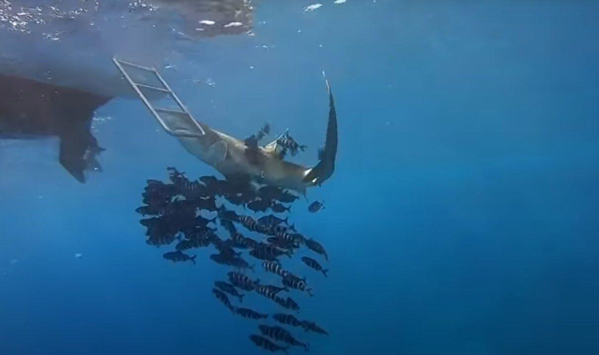 Акула пыталась покусать лестницу судна.