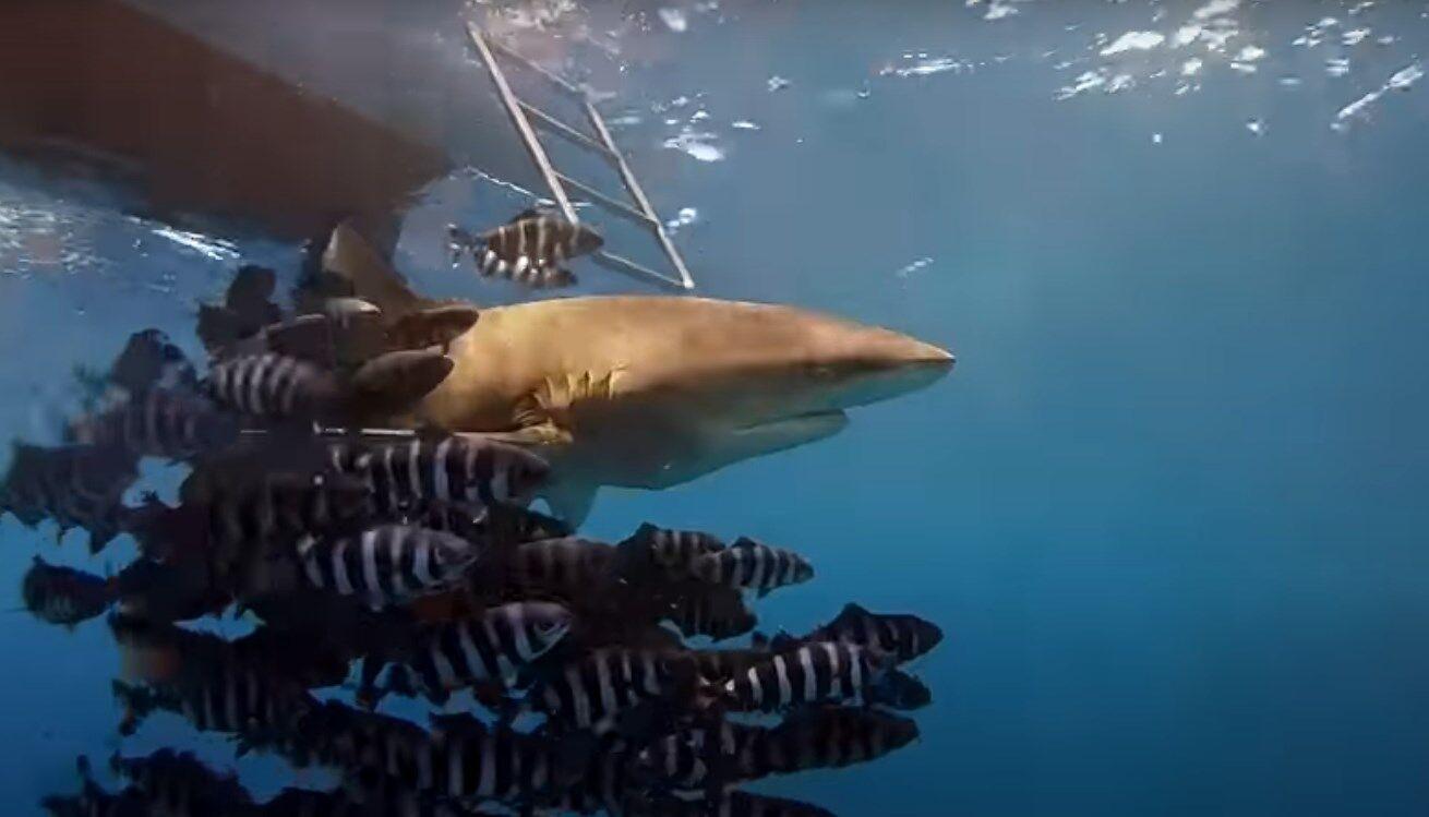 Дайвер заснял акулу, которая могла напасть на украинцев в Египте