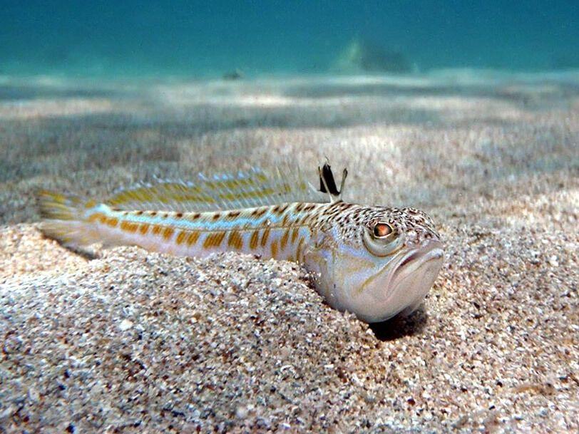 Самая опасная рыба в Черном море – морской дракончик