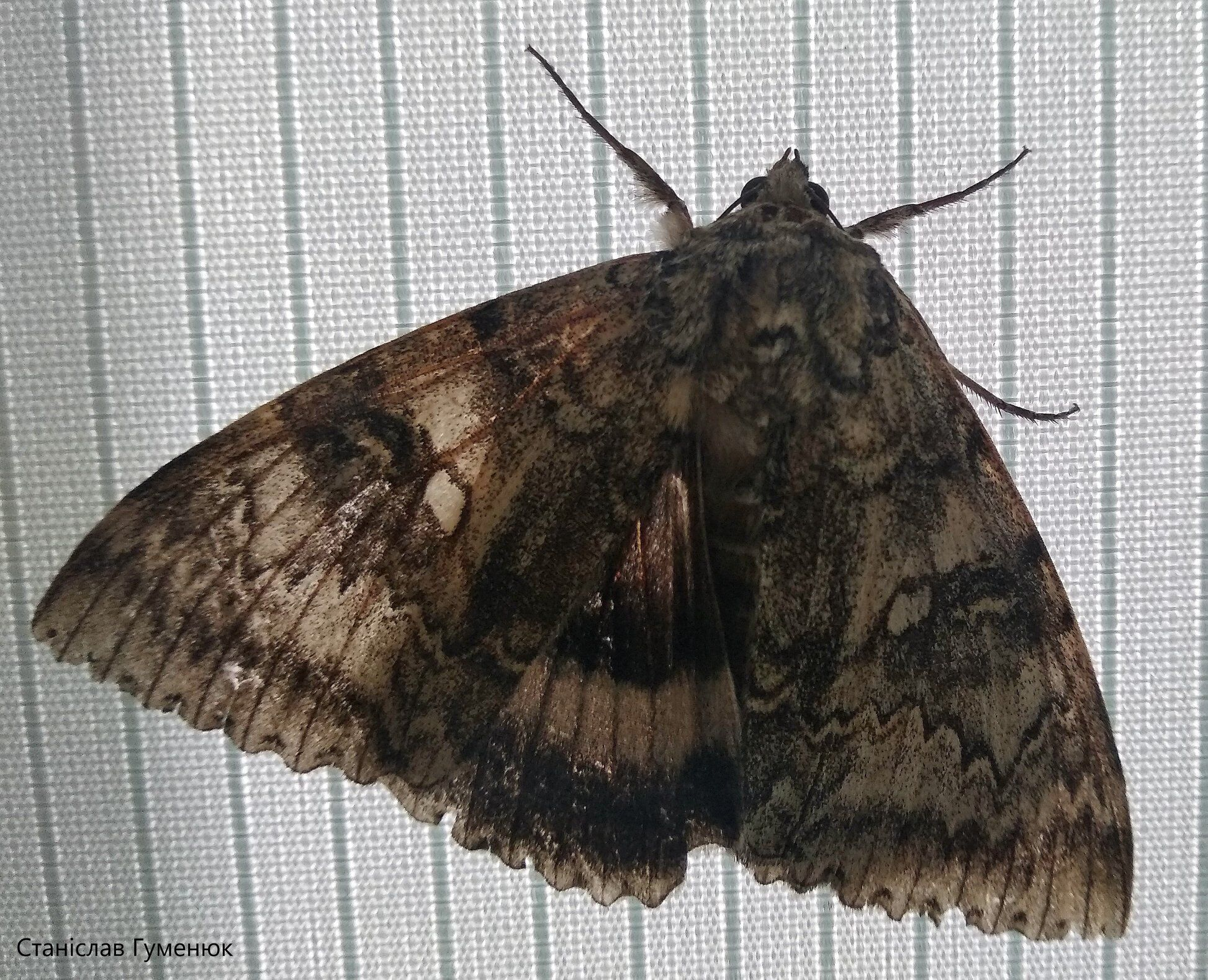 Метелика перенесуть на інше дерево