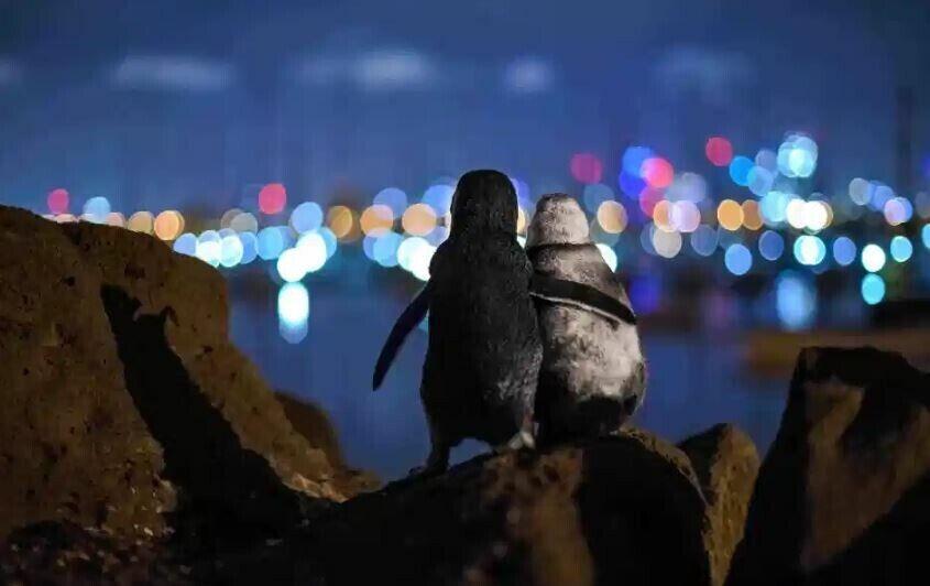 Два овдовілих пінгвіна втішають один одного в Мельбурні. Фото: Тобіас Баумгартнер