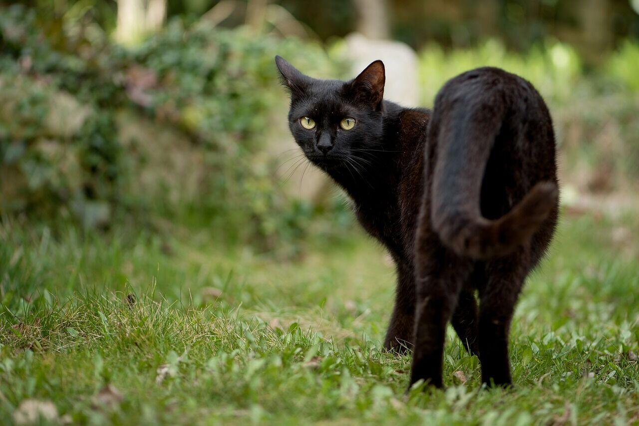Черный кот, переходящий человеку дорогу, – плохая примета