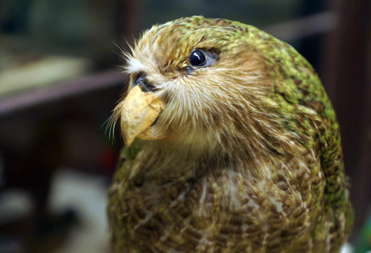 Папуга какапо
