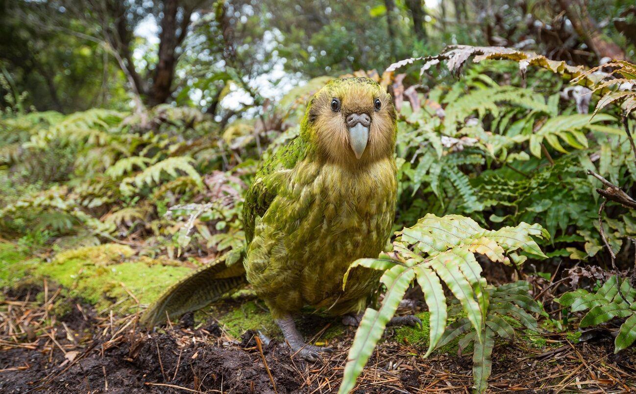 Какапо – єдиний вид папуг, який розучився літати у процесі еволюції