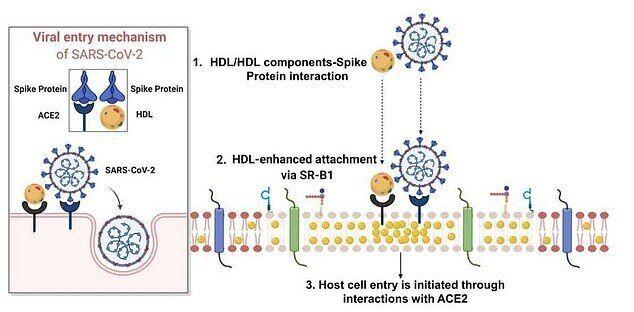 Вірус зв'язується з холестерином і прикріплюється до його рецептора SR-B1