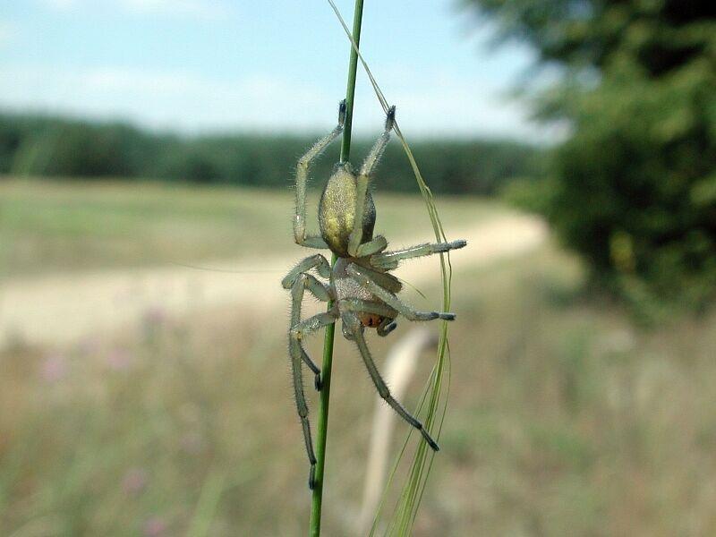 Желтосумчатый колющий паук.