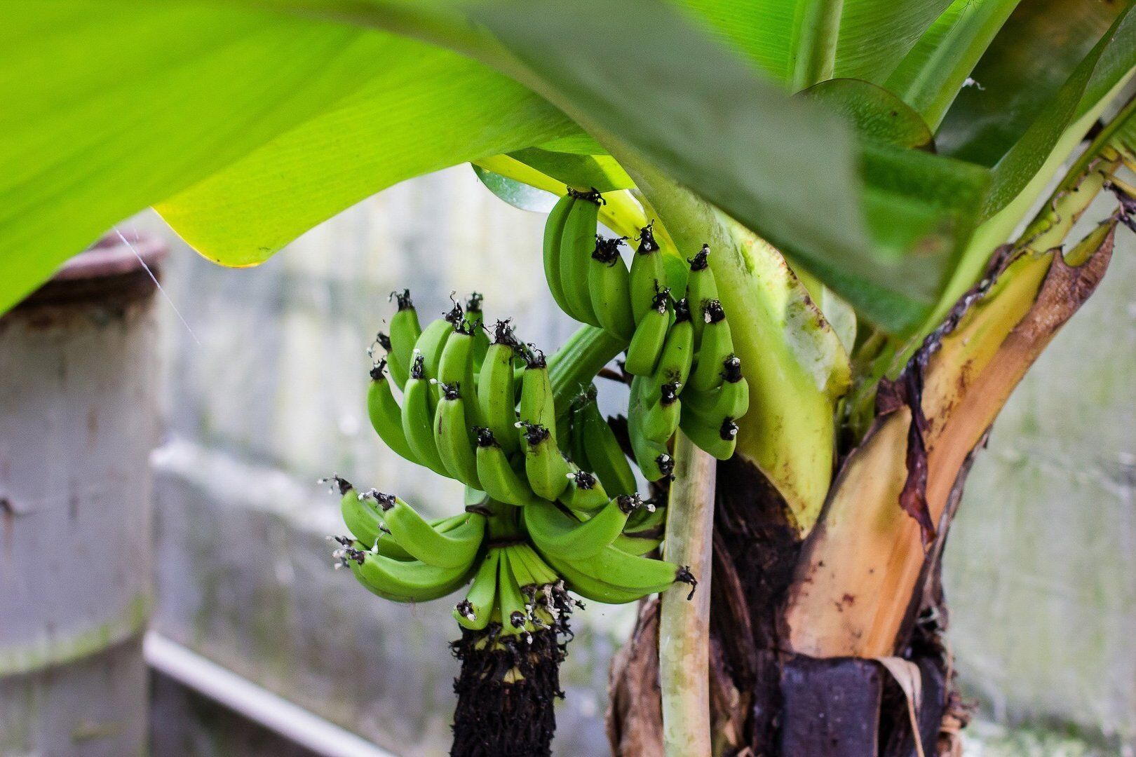 Банановая ферма
