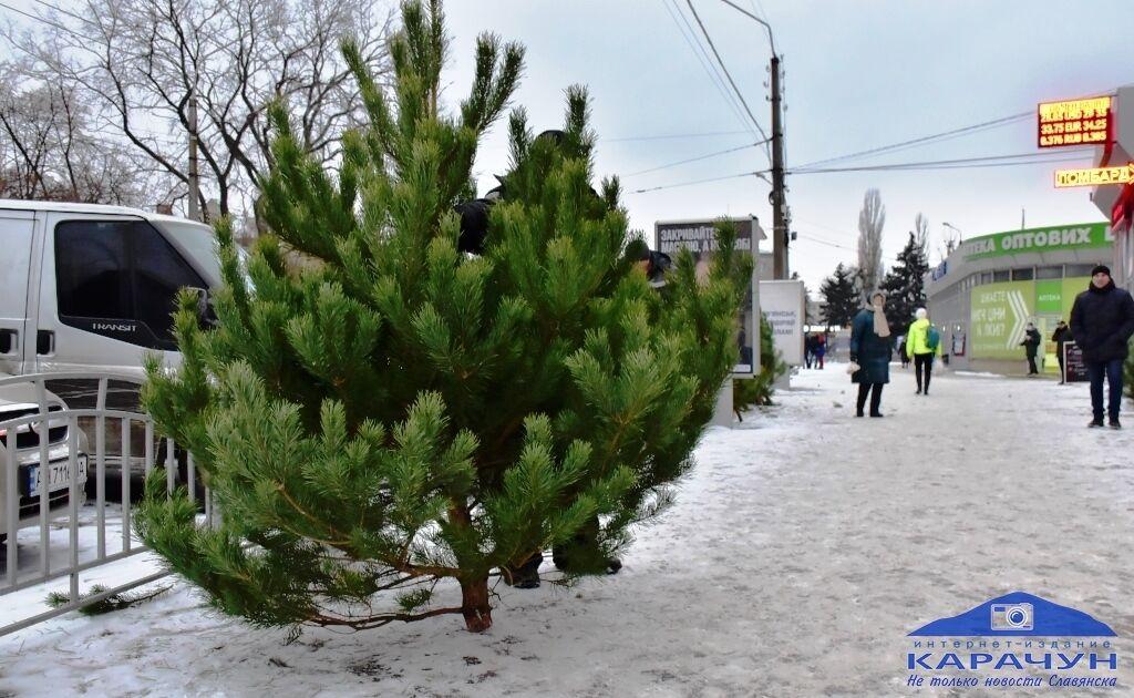В Славянске сосны продают по 600 грн