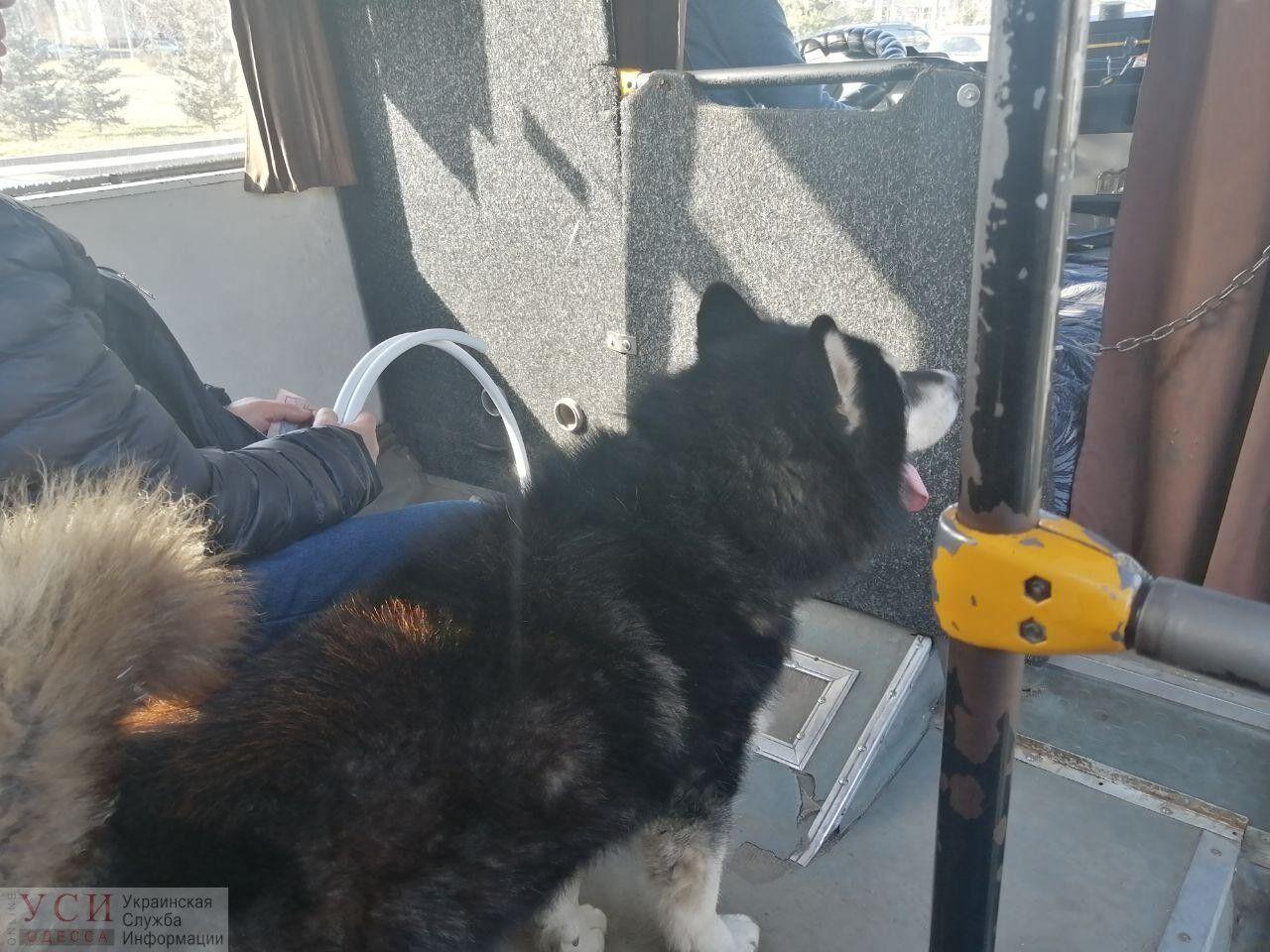 Одеський пес два місяці шукав господаря в маршрутках