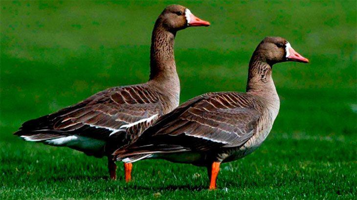 На Одещину прилетіли білолобі гуси