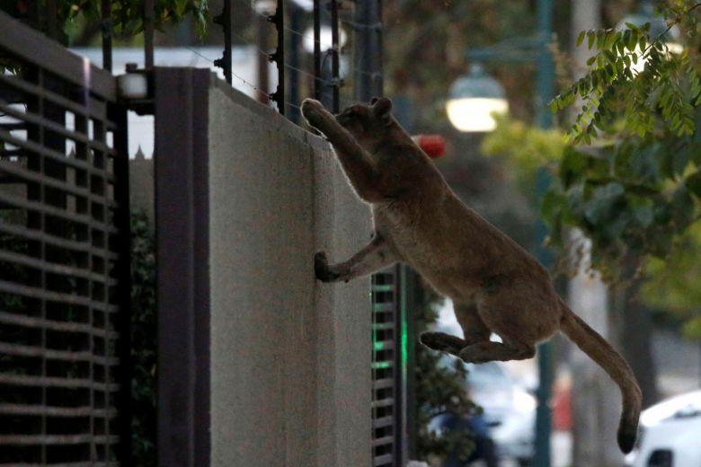 В опустевшей из-за карантина столице Чили случился курьез с пумой