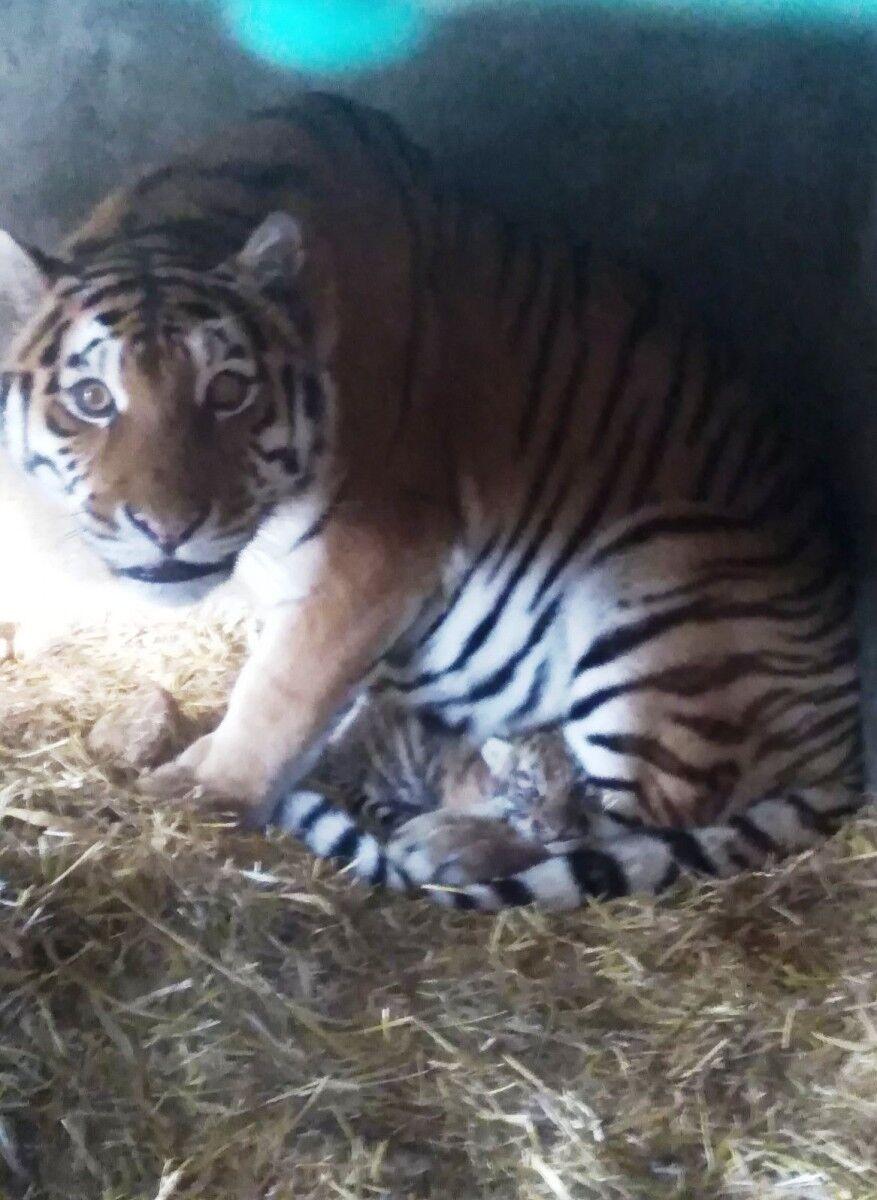 В Одесском зоопарке родился амурский тигренок