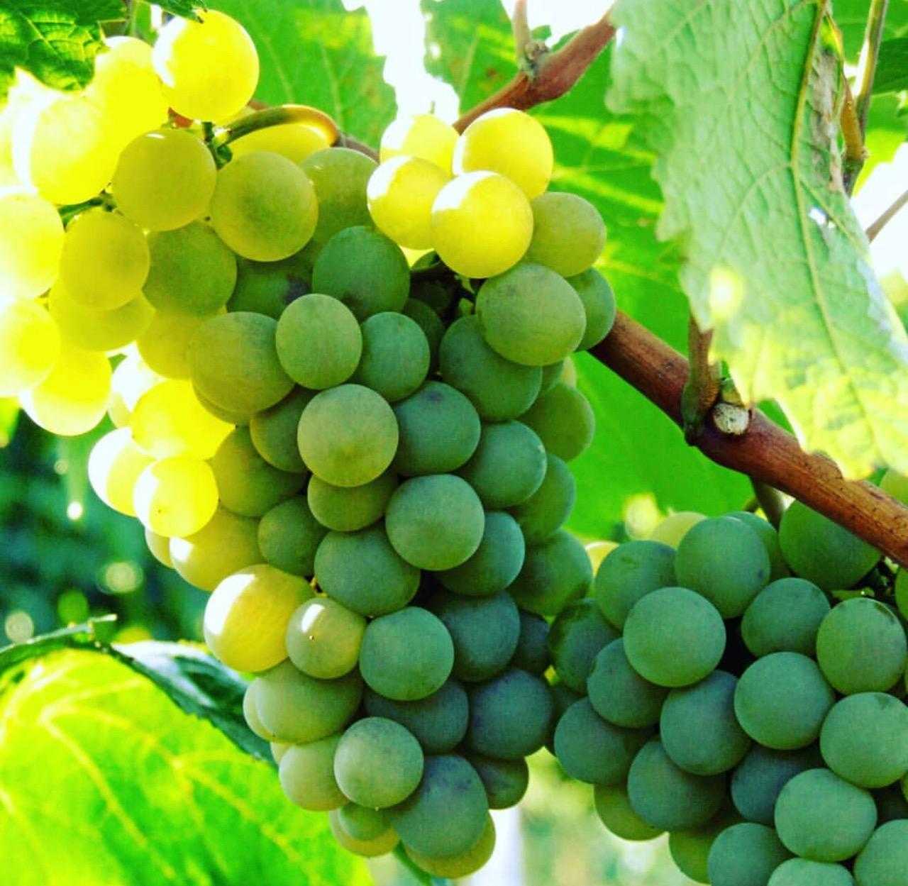 """""""Таврія"""" оголосила про зміну моделі виноградарства"""