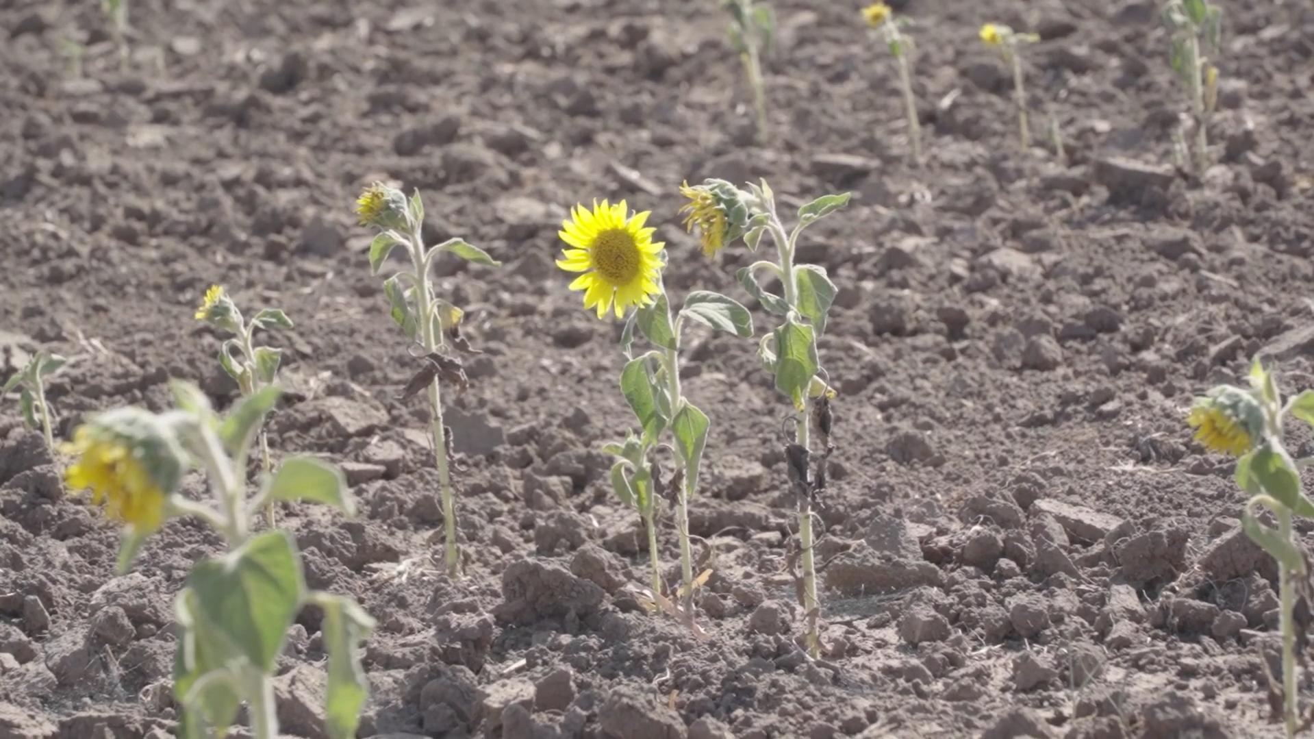 Засуха в Одесской области