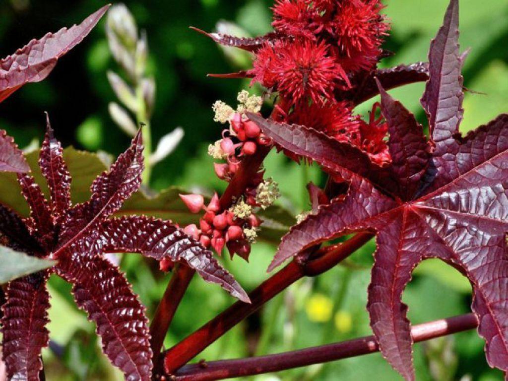 Клещевина обыкновенная знакома многим как садовое декоративное растение.