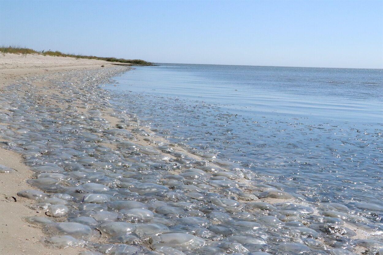 Медузы в Азовском море.