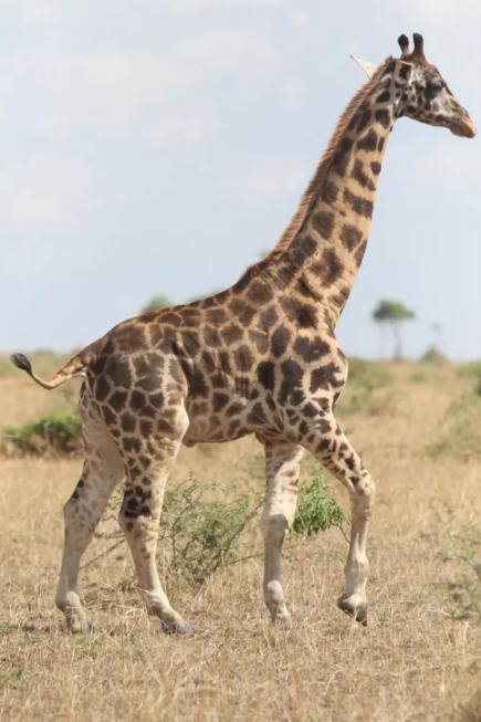 Карликовий жираф