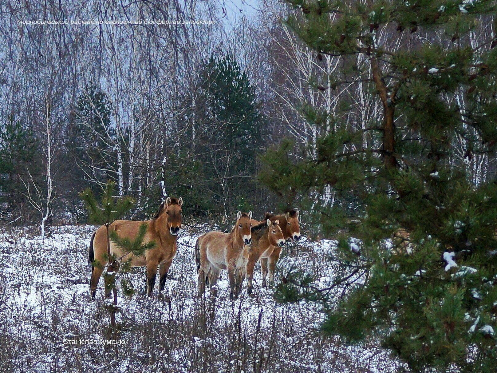 Коні Пржевальського в Чорнобильському заповіднику