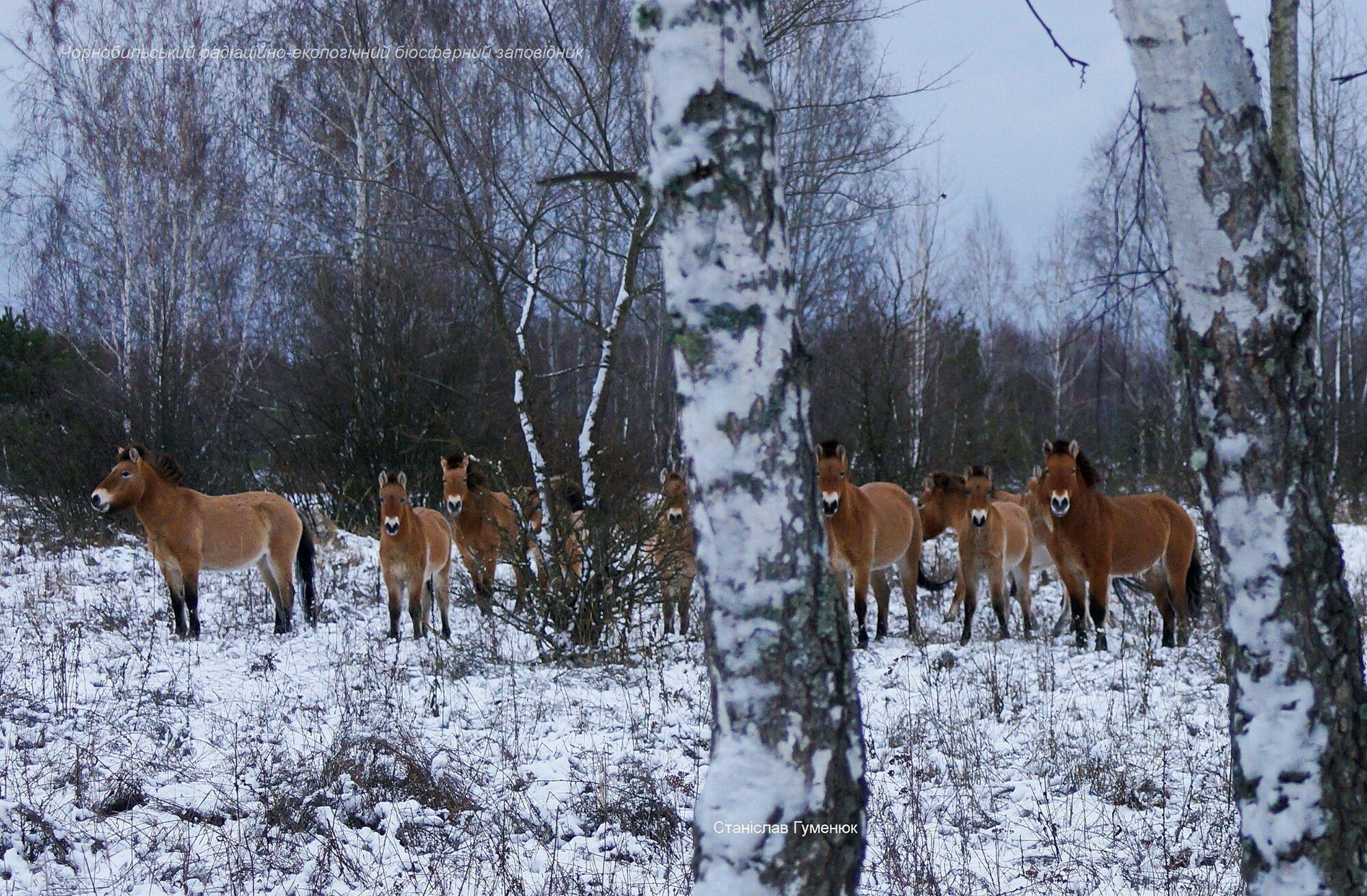 Общая численность животных в зоне отчуждения доходит до 150 особей