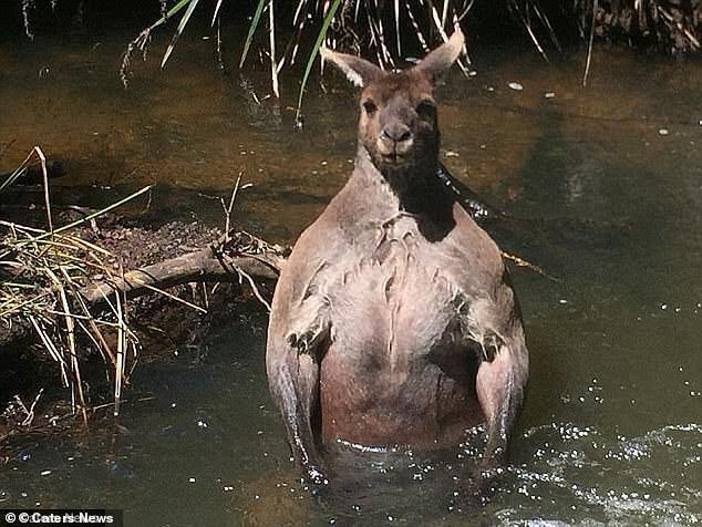 Австралиец снял купающегося в реке огромного кенгуру