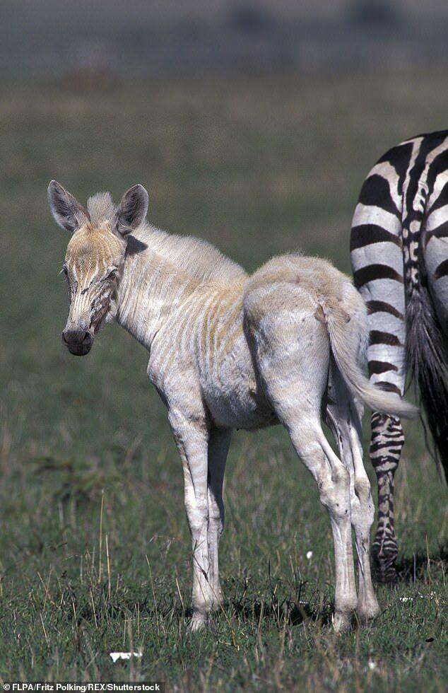 Зебра без привычного окраса