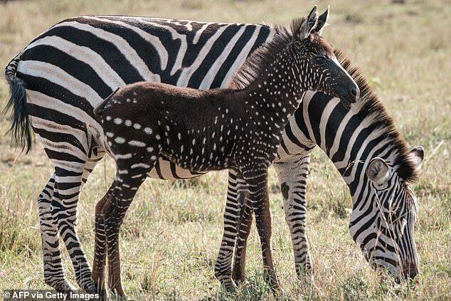 Зебра с необычным окрасом