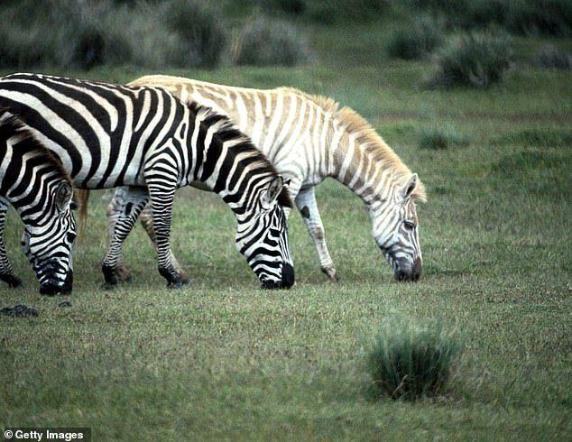 Зебры в Африке