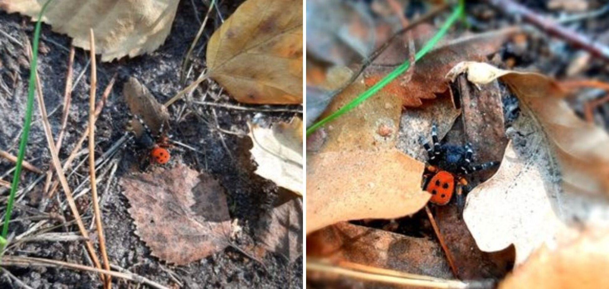 На Троєщині виявлений отруйний павук Чорний ерезус