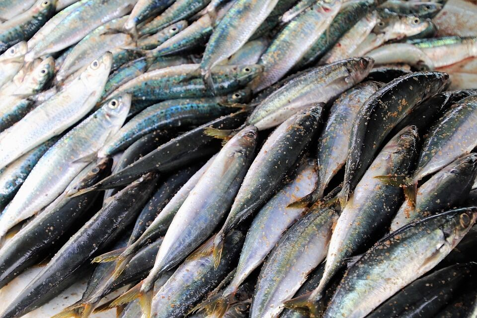 Скумбрія вважається найкориснішою рибою