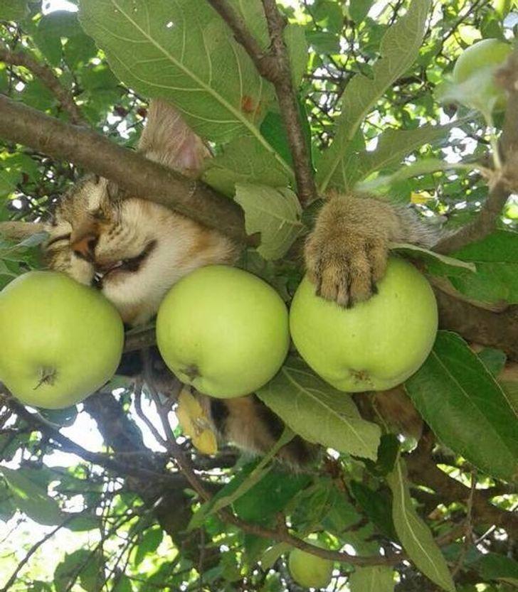 Кот с яблоками