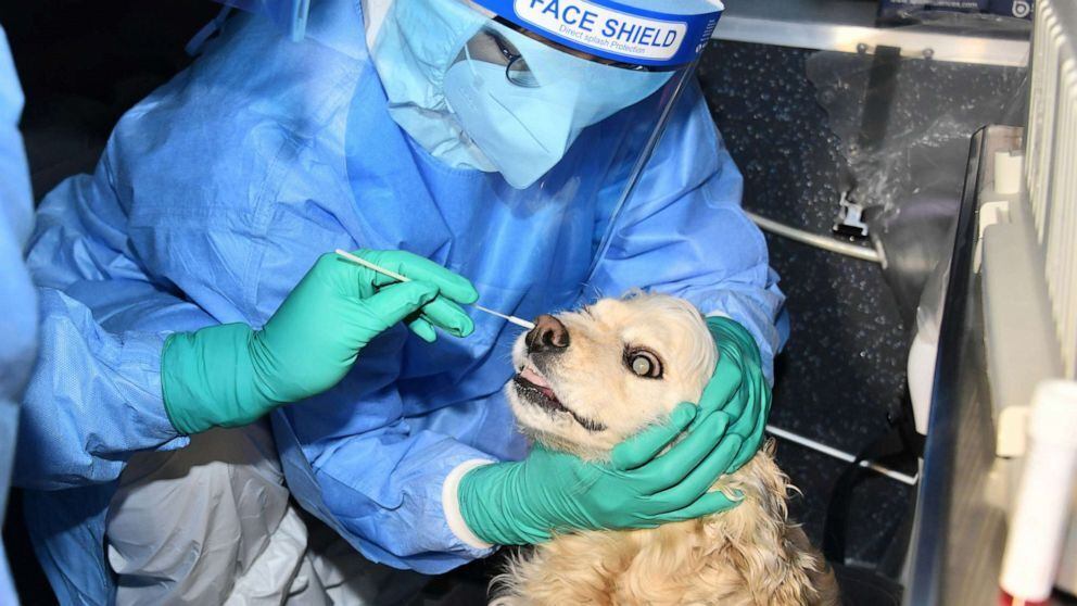 У животных берут образец из носа.