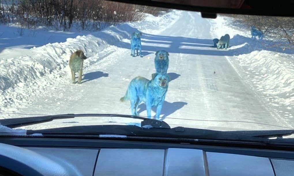 Синие собаки в Дзержинске