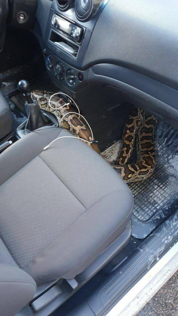 """Таксисту """"поручили"""" перевезти змею"""