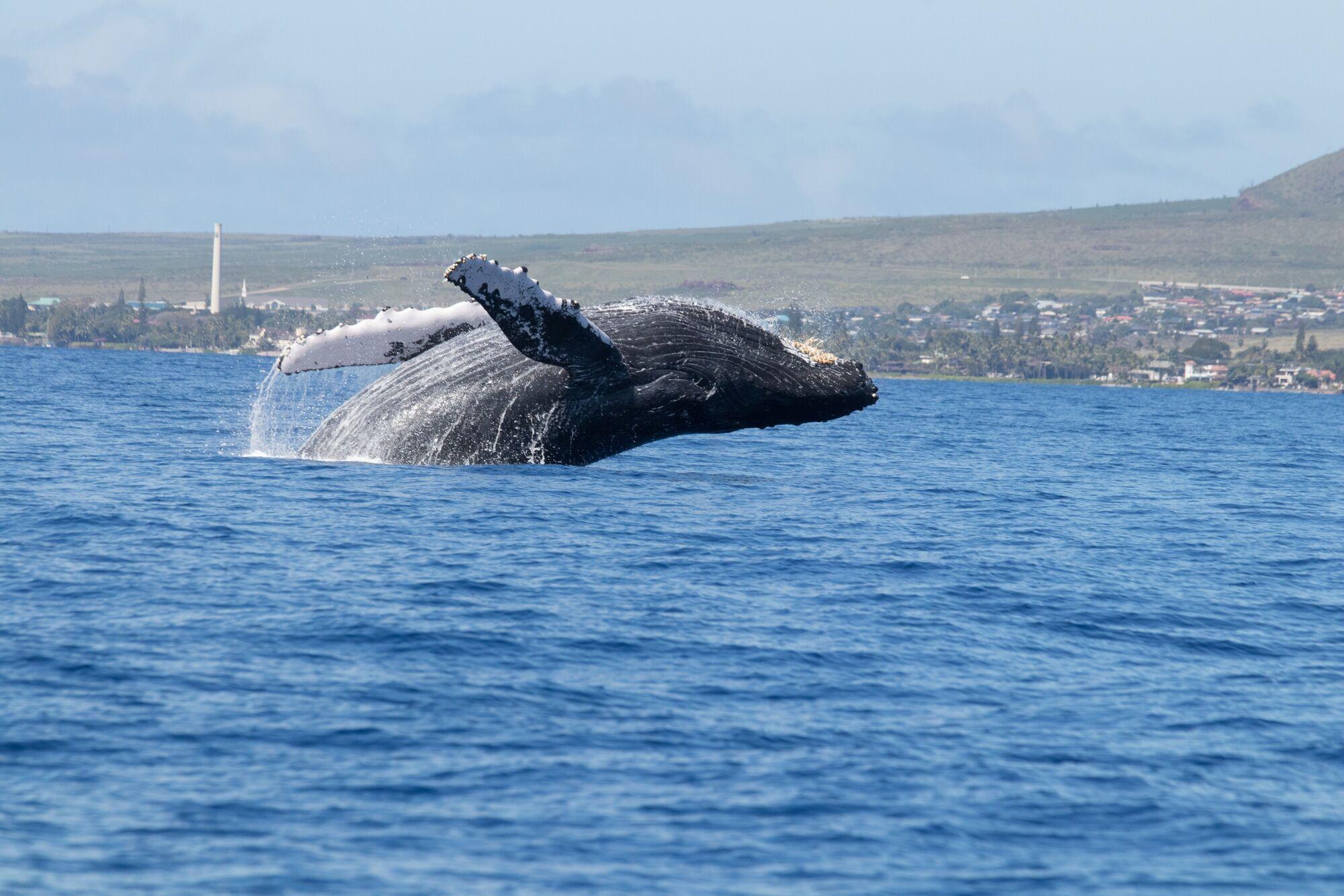 Считается, что предками китов были жившие на суше парнокопытные млекопитающие
