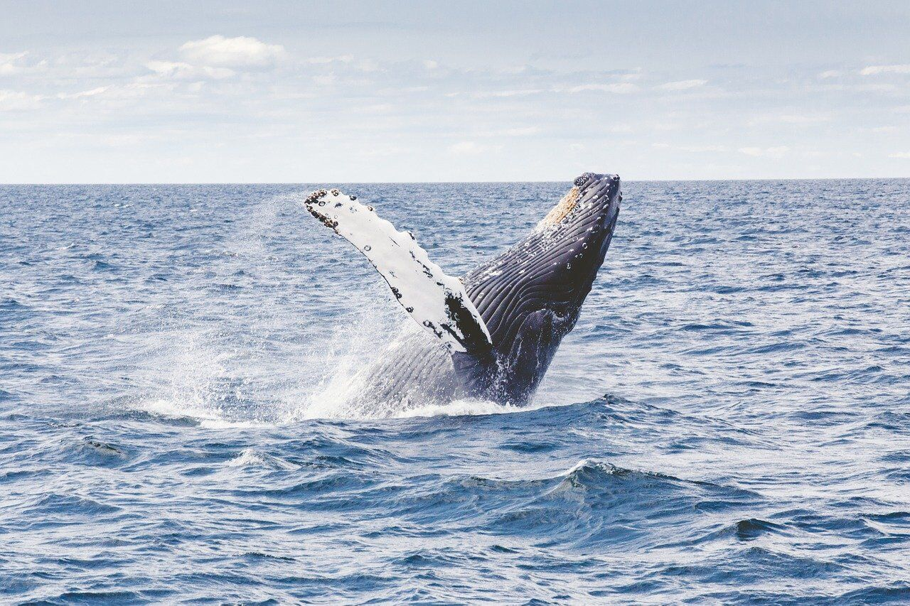 Язык синего кита весит 4 тонны