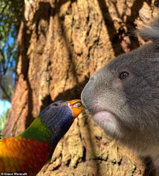Попугай и коала